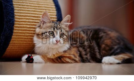 Domestic Multi-colored Kitten With A Toy.