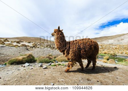 lamas in Mountains