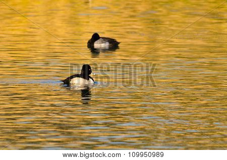 Ring-necked Duck Swimming On A Golden Autumn Pond