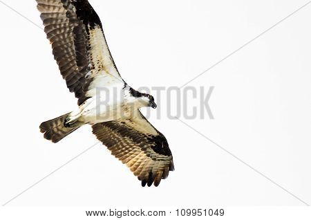 Lone Osprey Hunting On The Wing On A White Background