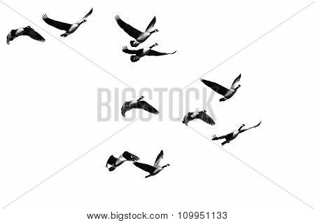 Flock Of Canada Geese Flying On A White Background