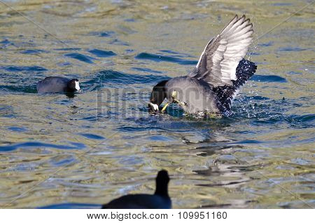 Two American Coots Battling In The Water