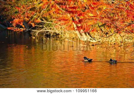 Pair Of Wood Ducks Swimming In The Blaze Of Autumn Color