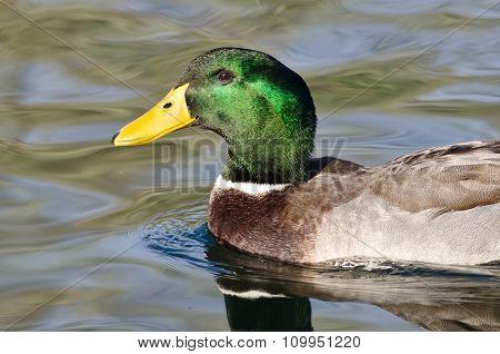 Profile Of Male Mallard Duck As It Swims In The Green Water
