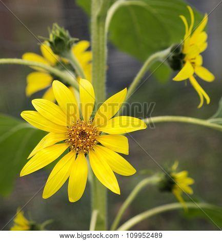 Sunflowers In The Garden