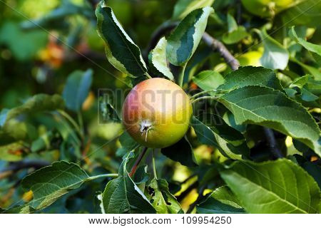 Branch of apple tree closeup