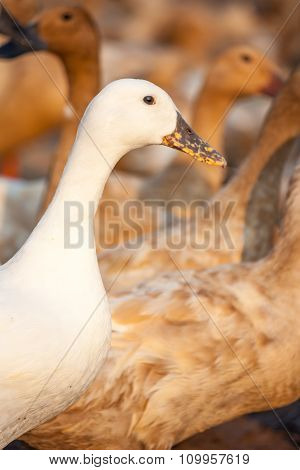 White Duck And Brown Ducks In Farm