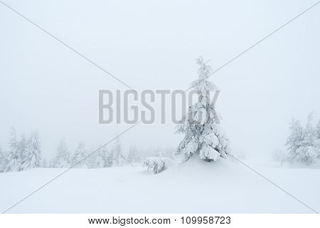 Winter landscape. Spruce in snow. Cloudy day. Carpathians, Ukraine, Europe