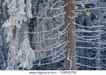 Winter forest. Fir trees in snow. Beauty in nature
