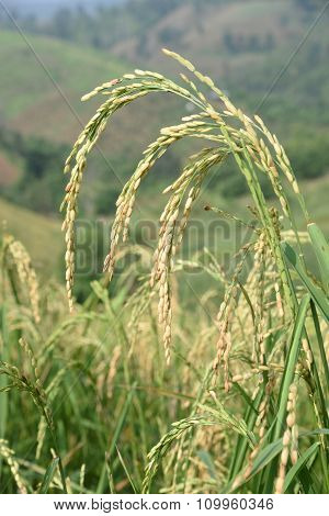Closed Up The Ear Of Rice In A Field