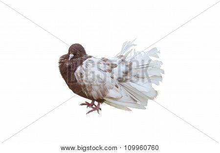 Big Beautiful Pigeon Bird