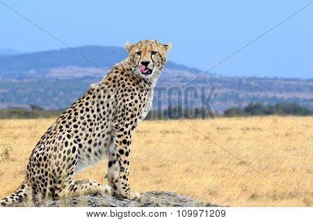 Wild African Cheetah