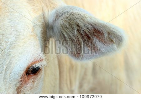 Image Of An Eye And Ear Cow