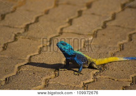 Blue head agama lizard