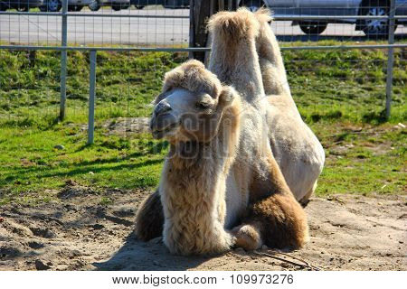 white bactrian camel