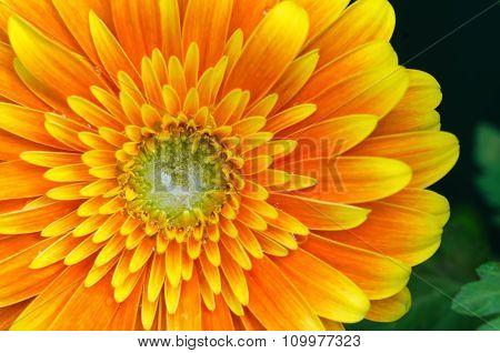 Orange Yellow Gerbera Flower Close-up Macro
