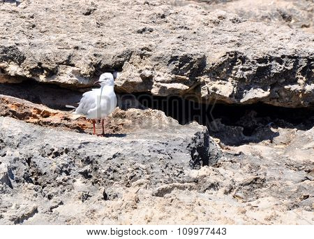Silver Sea Gull on Limestone Rocks: Cape Peron