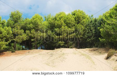 Lot of pine trees and sand dunes.