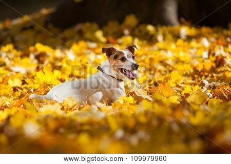 Beautiful Jack Russell Terrier Lying In Leaves In Autumn