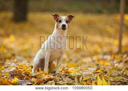 Beautiful Jack Russell Terrier In Autumn
