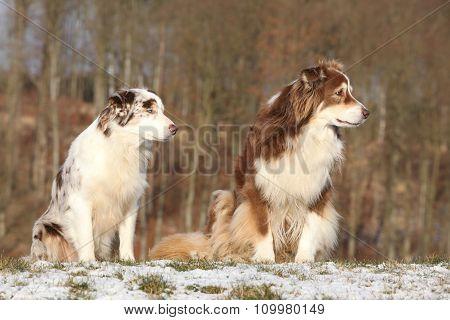 Amazing Australian Shepherds In Winter