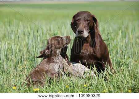 Beautiful German Shorthaired Pointer With Puppies