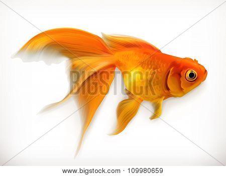 Goldfish, realistic vector illustration
