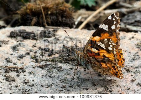 Butterfly Sits On Stone