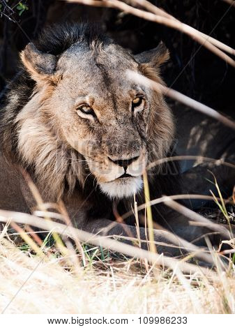 Portrait of male lion lying in the grass