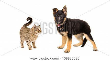 German Shepherd puppy and cat Scottish Straight