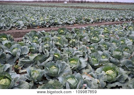The Cabbage Field