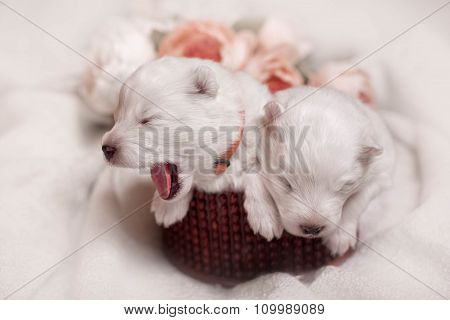first day puppies for Samoyed dogs