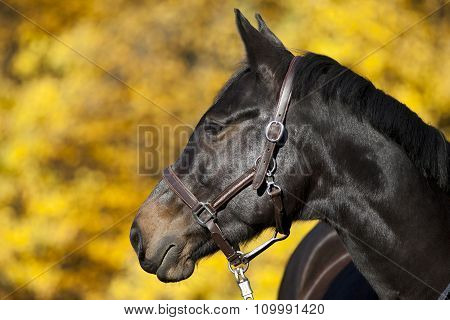 brown horse portrait on meadow with yellow autumn leaves in background