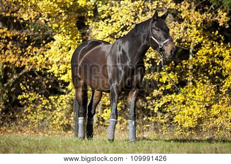 horse stand on meadow with yellow autumn leaves in background