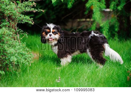 young funny tricolor cavalier cavalier king charles spaniel dog on green lawn in summer