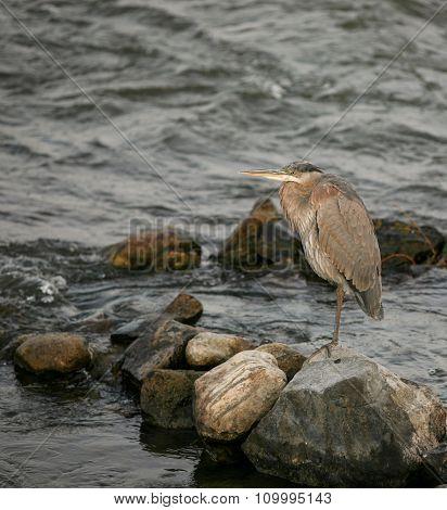 Bleu Heron