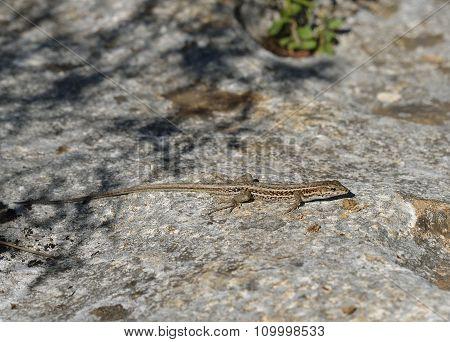 Snake-eyed Lacertid