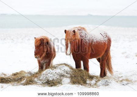 Icelandic mare with foal  on  winter pasture with snow.