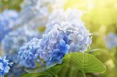 Постер, плакат: Hydrangea flowers background