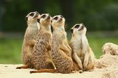 foto of meerkats  - Meerkats all sit together and look at the sky - JPG