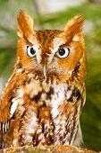 picture of screech-owl  - Screech Owl Closeup Perched on Tree Stump - JPG