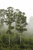 stock photo of eucalyptus trees  - Eucalyptus trees on a wooded ridge in the mist - JPG
