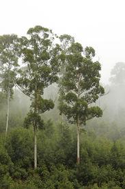 stock photo of eucalyptus trees  - Eucalyptus trees on a wooded ridge in the mist - JPG