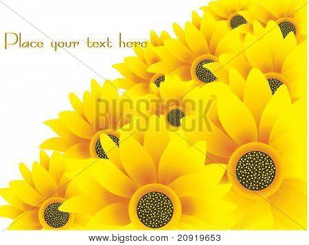 beautiful sunflowers vector illustration