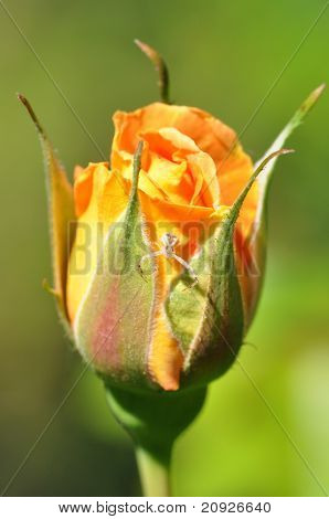 Orange Rosebud With Flower Spider