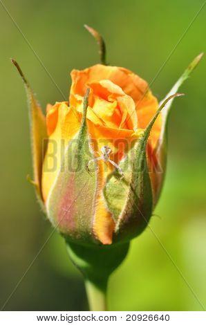 Orange Rosebud With Flower Spider