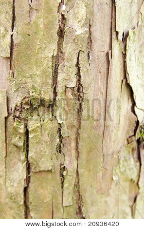 Natural Yew Tree Bark Abstract Background