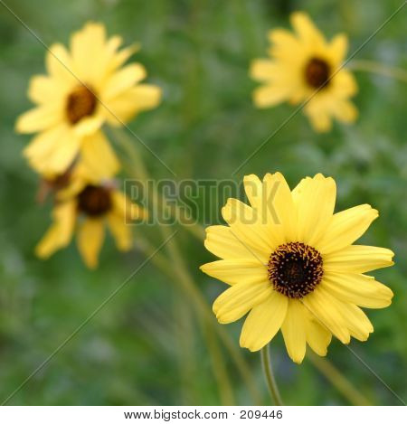 Bush Sunflowers