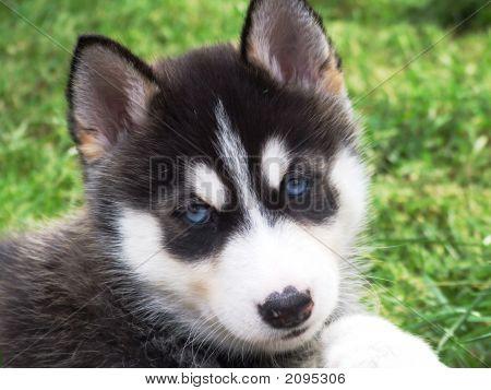 Um filhote de cachorro Husky muito bonito