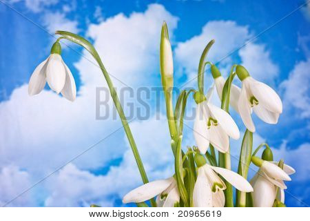Beauty Spring White Snowdrop Nature Flower Plant